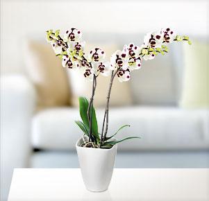 Blume2000 Phalaenopsis Multiflora