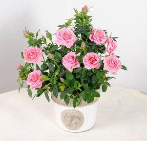 Rosafarbene Topfrose im Keramikübertopf