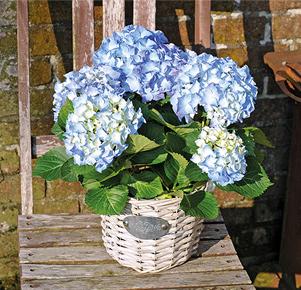 Blaue Hortensie im Korbübertopf