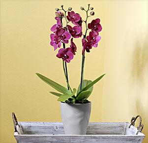 "Phalaenopsis ""Montreux®"" im grauen Übertopf"