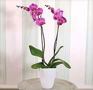 Pinkfarbene Orchidee im Übertopf