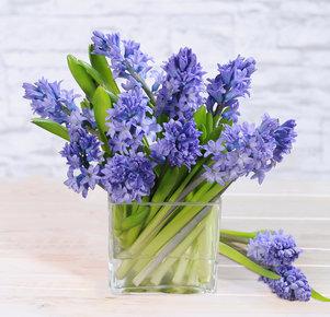 20 blaue Hyazinthen