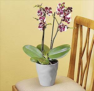 """Phalaenopsis """"Elegant Polka®"""" im grauen Übertopf"""