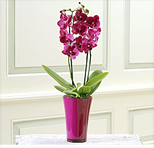 """Phalaenopsis """"Montreux®"""" im fuchsia Übertopf"""