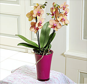 "Phalaenopsis ""Kaleidoscope®"" im fuchsia Übertopf"