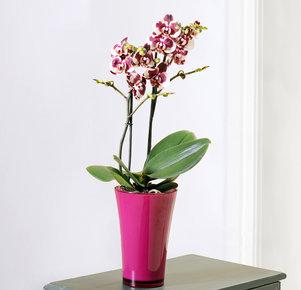 """Phalaenopsis """"Elegant Polka®"""" im fuchsia Übertopf"""