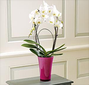"Phalaenopsis ""Rainbow®"" im fuchsia Übertopf"