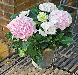 Rosa-weiße Hortensie im Zinkübertopf