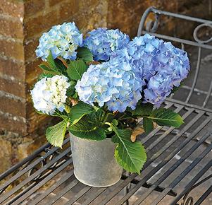 Blaue Hortensie im Zinkübertopf