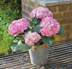 Rosafarbene Hortensie im Zinkübertopf