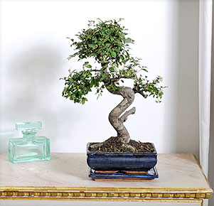 "Bonsai ""Zelkova"" in Keramikschale"