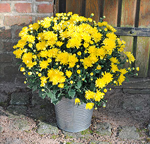 Gelbe Chrysantheme im Zinkeimer
