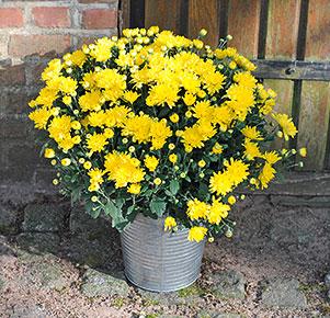 Gelbe Chrysantheme im Zinkübertopf