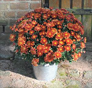 Bronzefarbene Chrysantheme im Zinkübertopf
