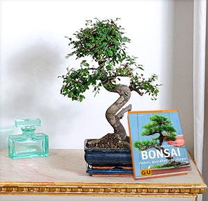 Bonsai Zelkova mit Bonsai Buch