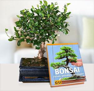 Kugel Bonsai Carmona mit Bonsai Buch