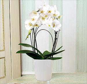 """Weiße Orchidee """"Rainbow"""" im Übertopf"""