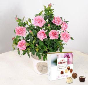 Rosafarbene Topfrose im Übertopf mit Hachez Muttertagspralinen