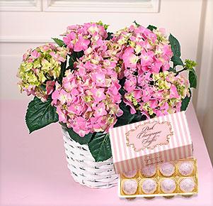 Rosa Hortensie im Korbübertopf Pink Champagne Truffes Pralinen