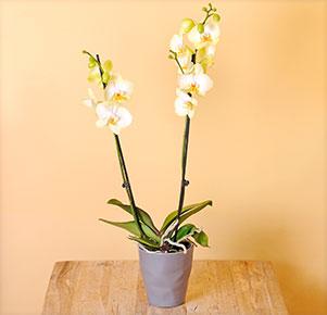 "Phalaenopsis ""Golden Jaguar®"" im grauen Übertopf"