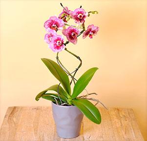 "Phalaenopsis ""Dreamdiamond®"" Twister im grauen Übertopf"