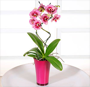 "Phalaenopsis ""Dreamdiamond®"" Twister im fuchsia Übertopf"