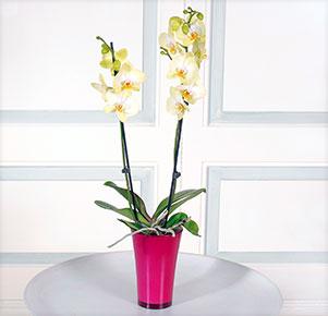 "Phalaenopsis ""Golden Jaguar®"" im fuchsia Übertopf"