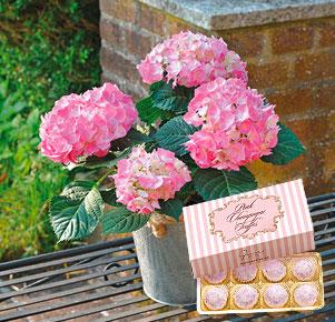 Rosa Hortensie im Zinkübertopf mit Pink Champagne Truffes
