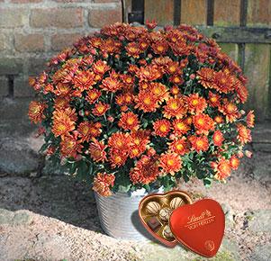 Bronzefarbene Chrysantheme mit Lindt Von Herzen