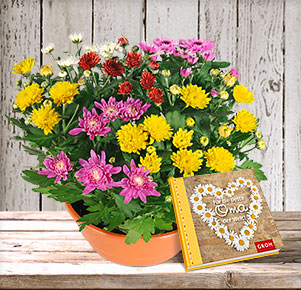"""Chrysanthemen Mix Schale mit Buch """"Für die beste Oma der Welt"""""""
