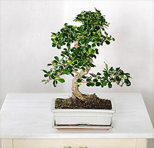 "Großer Etagen Bonsai ""Carmona"" in Keramikschale"