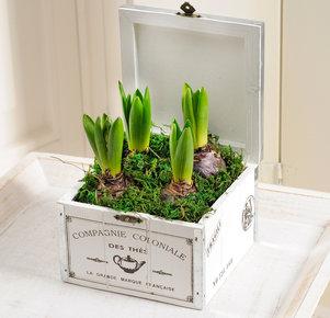 Hyazinthen in weißer Holzbox