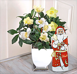 Christrose mit Übertopf mit Lindt Weihnachtsmann
