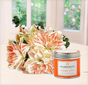 """3 rosé, gefüllte Amaryllis mit Duftkerze """"Orange Spice"""" in Geschenkdose"""