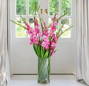 Pinkfarbene Gladiolen
