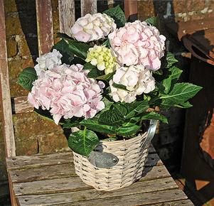 Rosa-weiße Hortensie im Korbübertopf