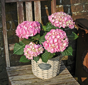 Rosafarbene Hortensie im Korbübertopf