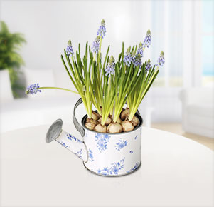 Muscari in Gießkanne
