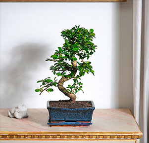 "Bonsai ""Carmona"" in Keramikschale"