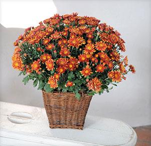 Bronzefarbene Chrysantheme im Korb-Übertopf