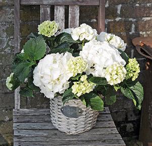 Weiße Hortensie im Korbübertopf