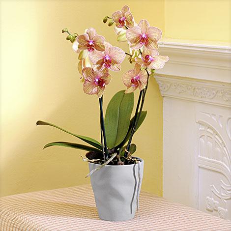 Phalaenopsis ´´Kaleidoscope®´´ im grauen Übertopf