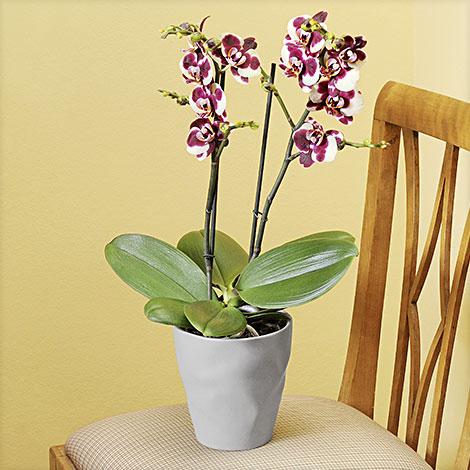 Phalaenopsis ´´Elegant Polka®´´ im grauen Übertopf