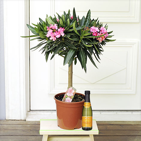 Oleander-Stamm mit Prosecco DOC Piccolo 0,2 L