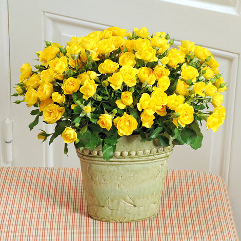 10 gelbe Sprayrosen Yellow Babe®