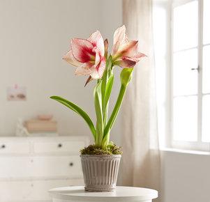 trauergestecke verschicken amaryllis rosa apple. Black Bedroom Furniture Sets. Home Design Ideas