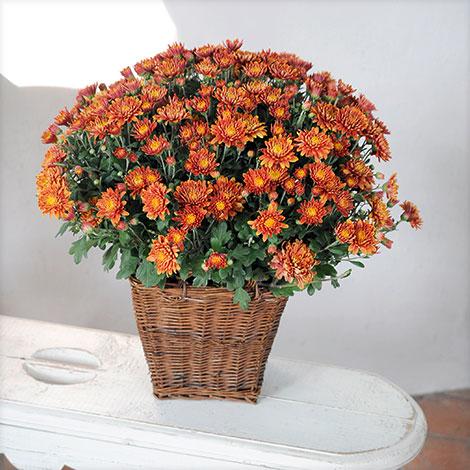 Bronzefarbene chrysantheme im korb übertopf