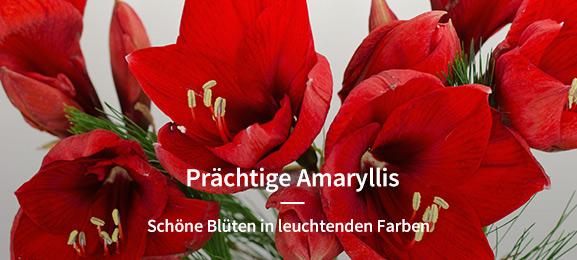 Amaryllis/