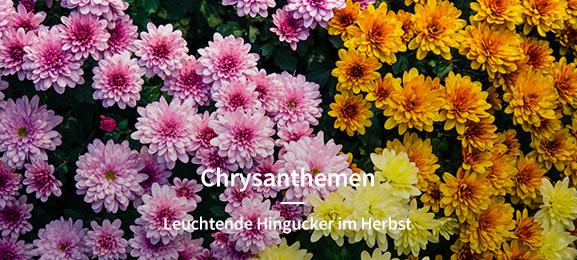 Chrysanthemen/