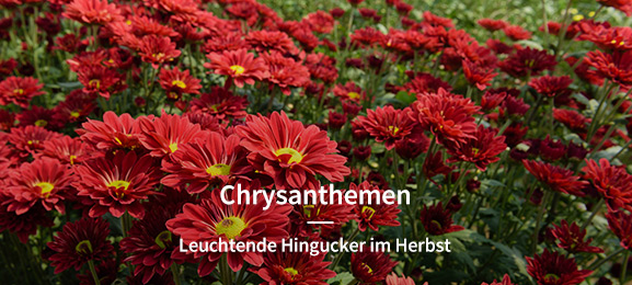Chrysanthemen/